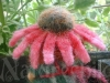 Purple coneflower child